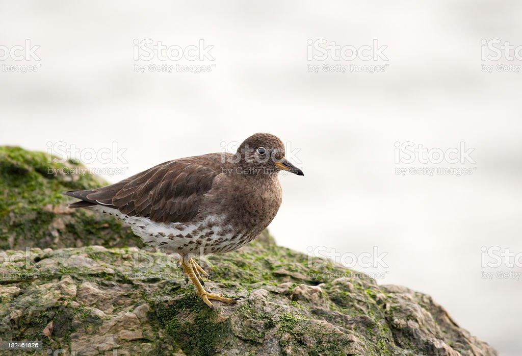 Surfbird, a shorebird royalty-free stock photo