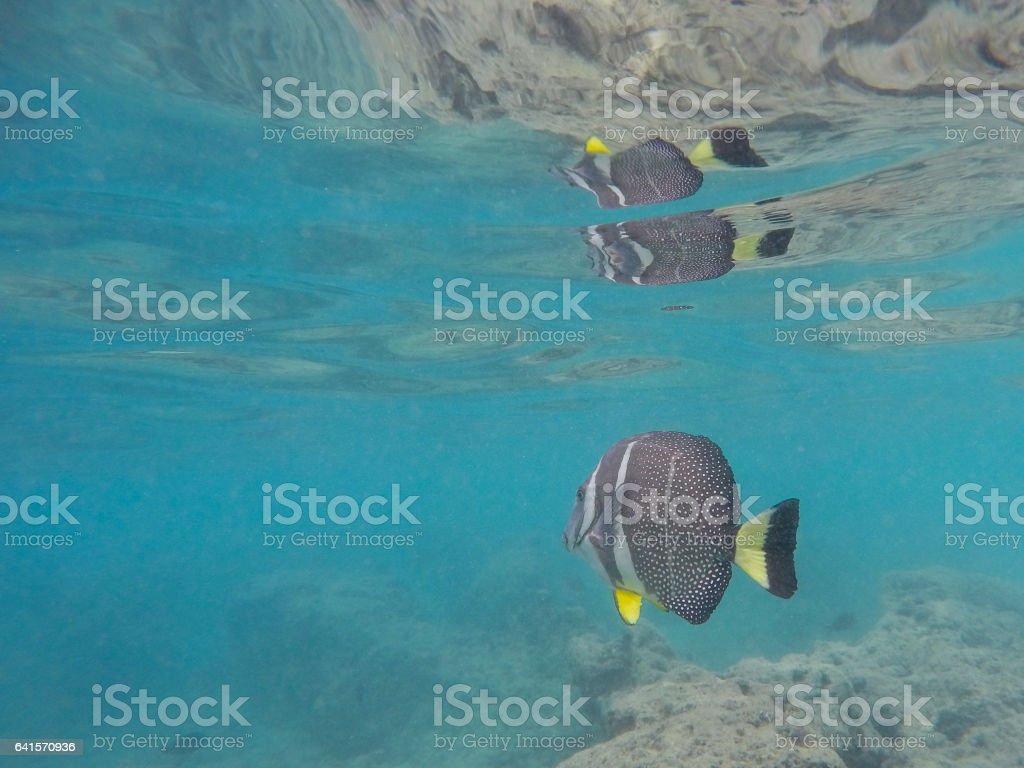 Surgeonfish at Hanauma Bay stock photo