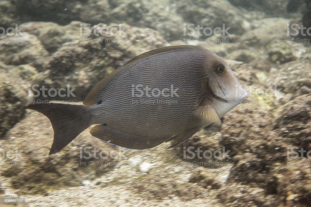 Surgeonfish in Hanauma Bay stock photo