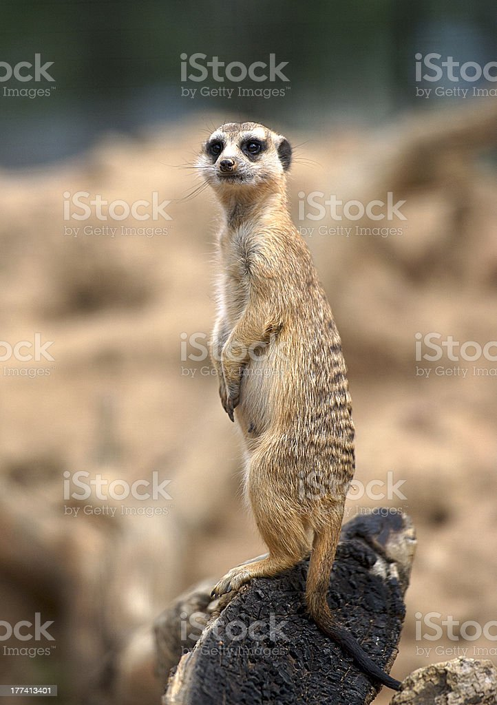 Suricata royalty-free stock photo