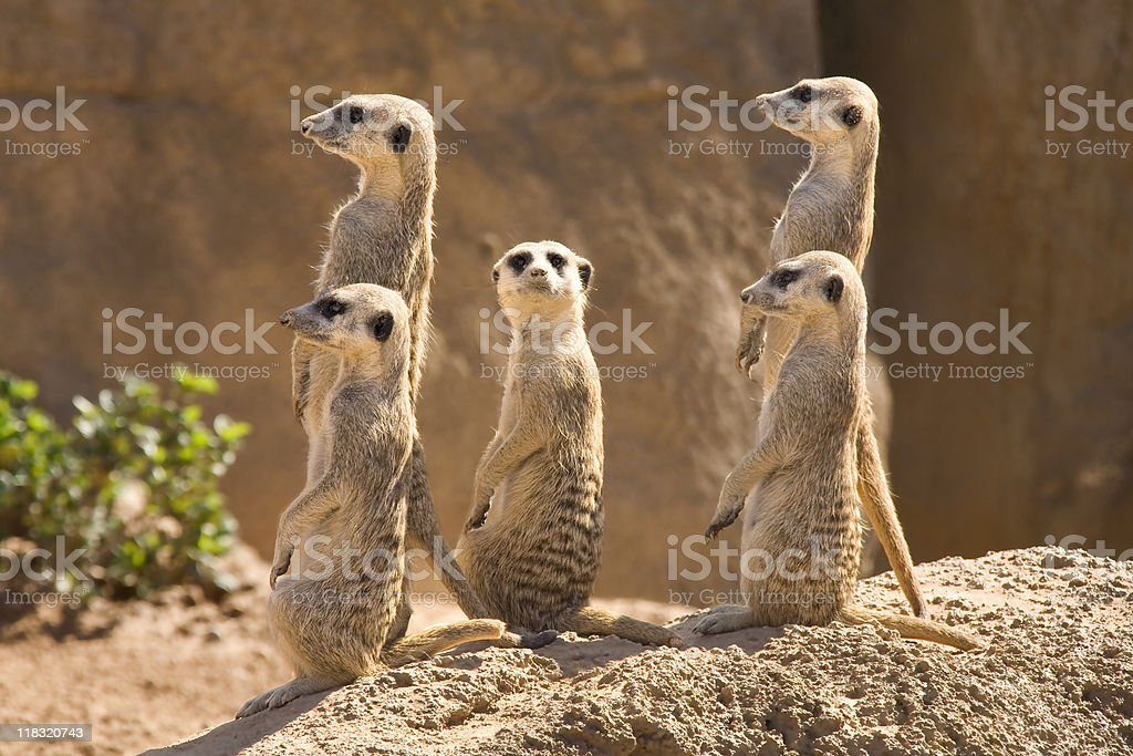 Suricatas standing Ina rock together royalty-free stock photo