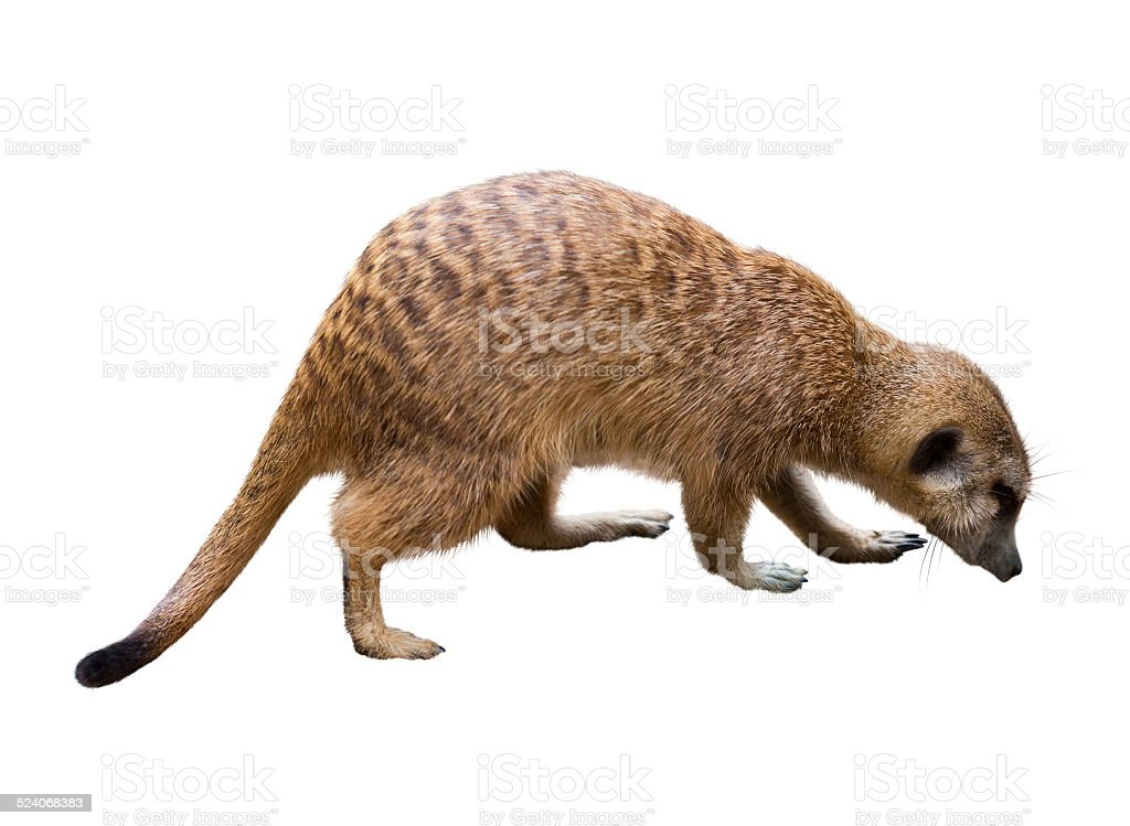 suricate. Isolated  over white stock photo