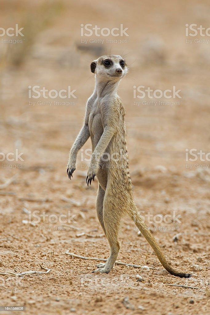 Suricate or meerkat standing in Kalahari desert royalty-free stock photo