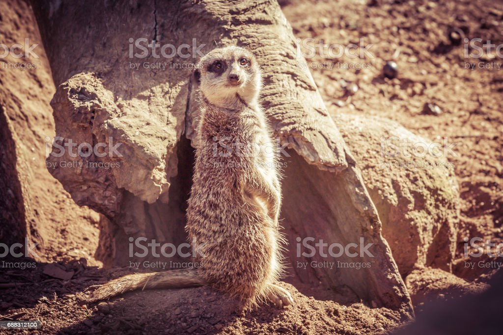 Suricate portrait standing on barren land near dry tree trunk looking into the camera stock photo