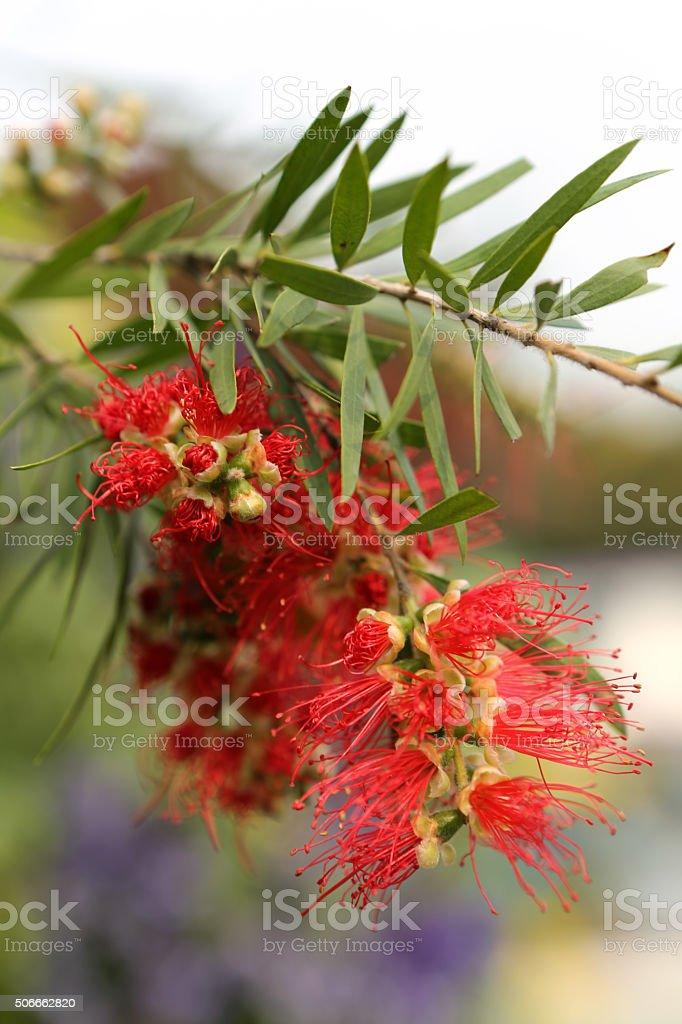 Surinam Calliandra stock photo