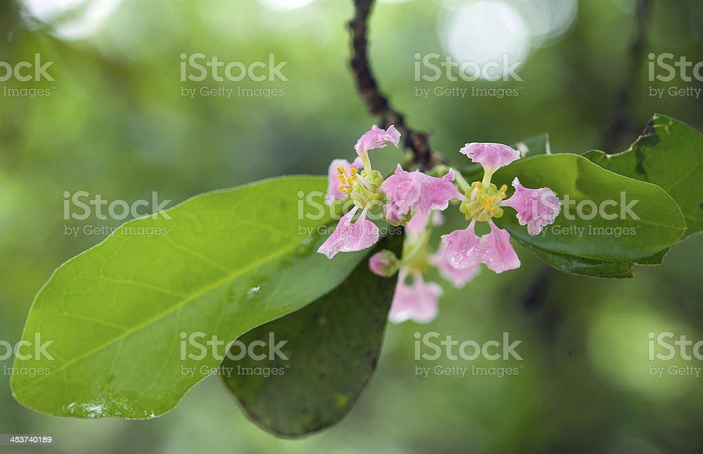 surinam cherry flowers royalty-free stock photo