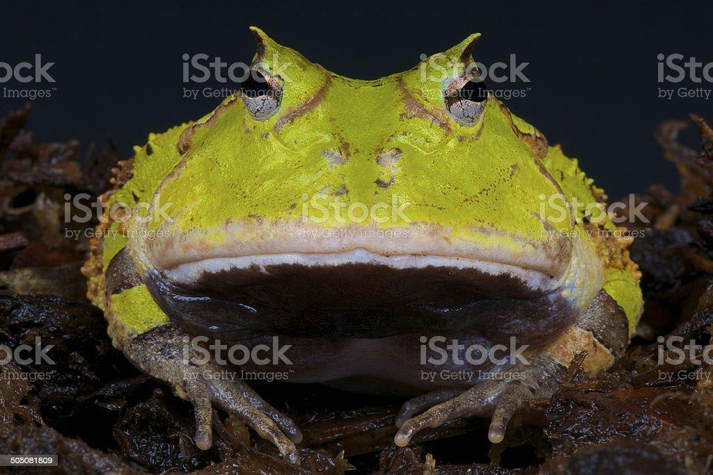Surinam horned frog / Ceratophrys cornuta stock photo