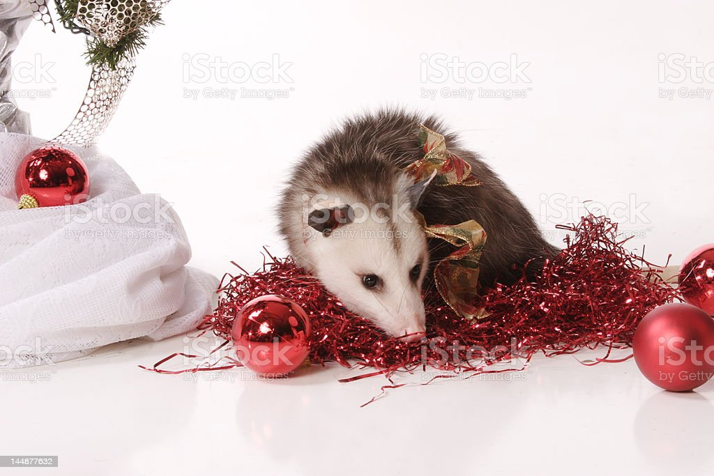 Surprise Guest in Christmas tassles stock photo