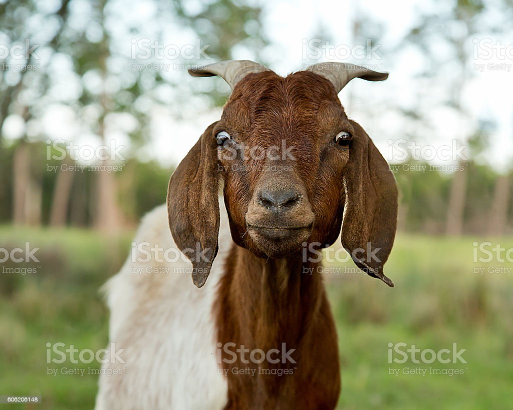 Surprised and Funny Goat stock photo