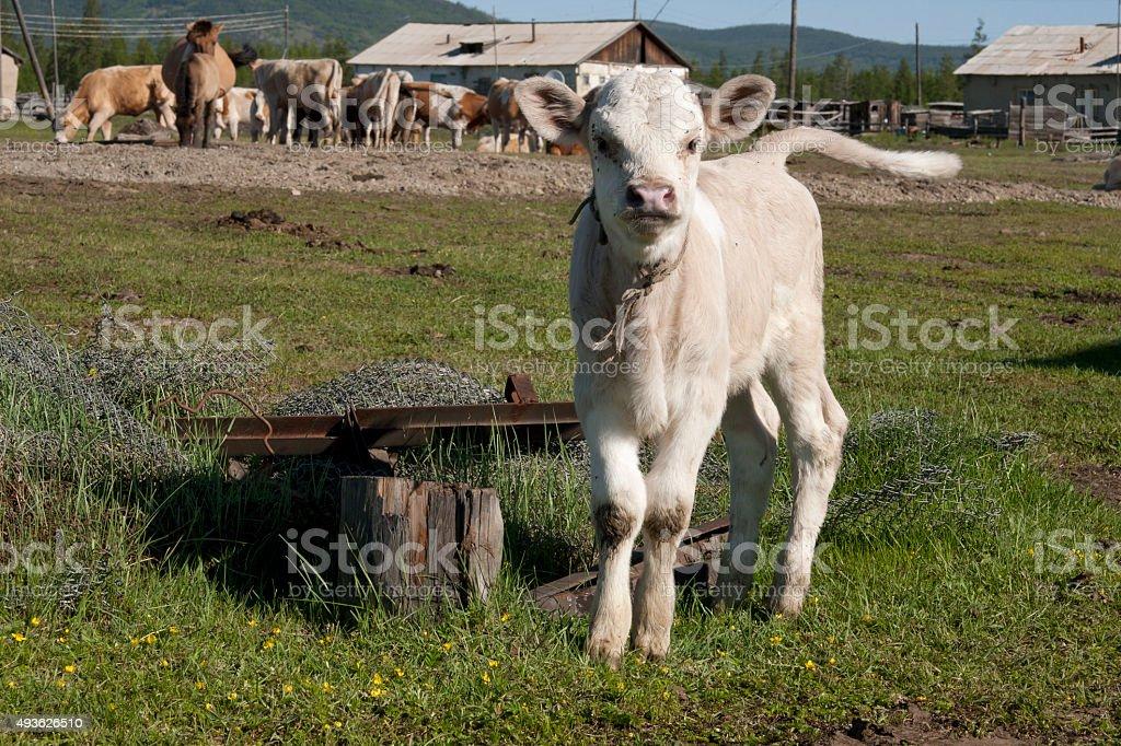 Surprised calf stock photo