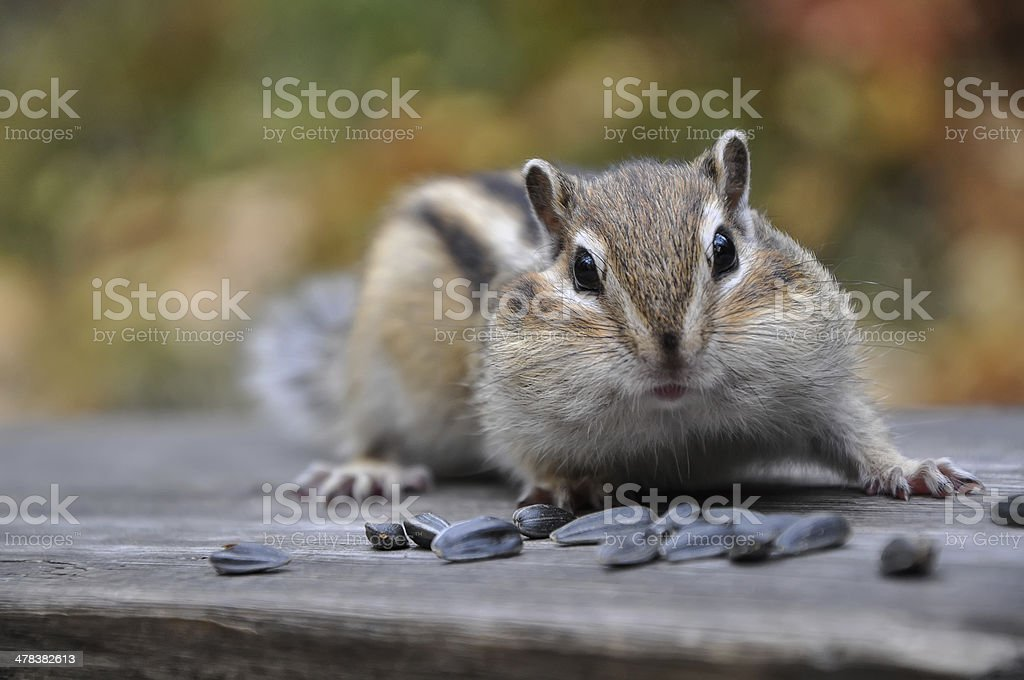 Surprised chipmunk seeds royalty-free stock photo