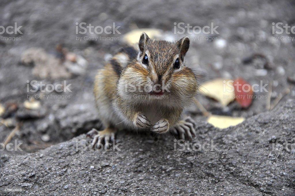 Surprised chipmunk stone stock photo