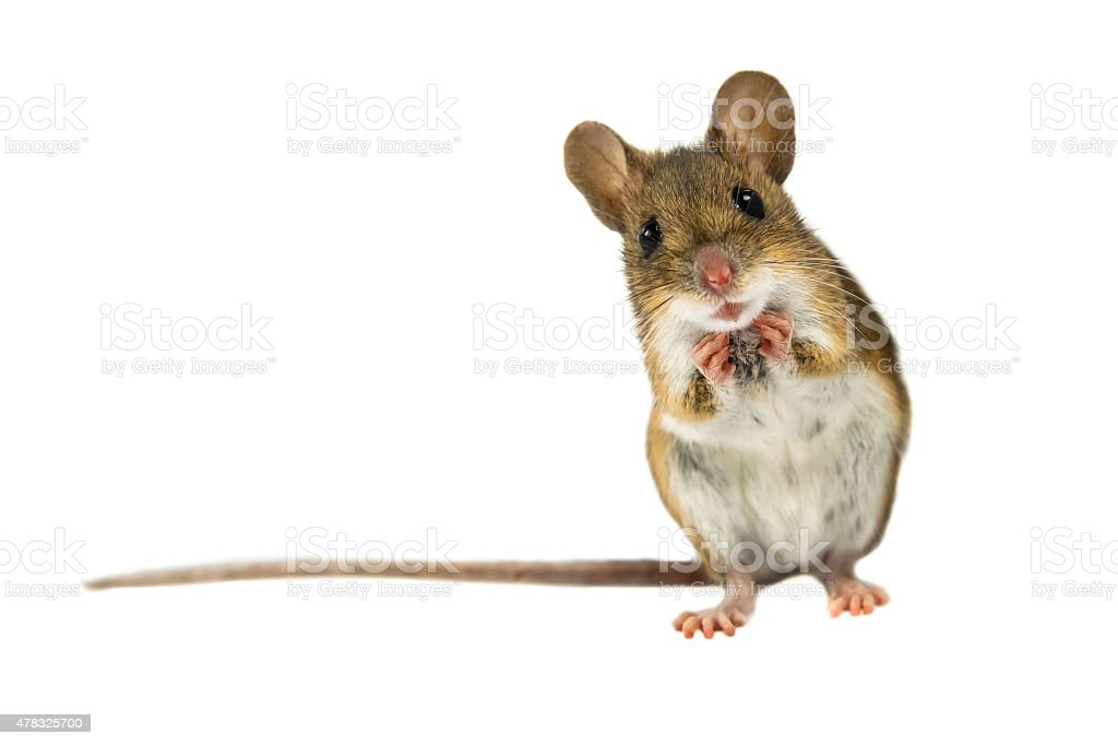 Surprised Field Mouse with clipping path stock photo