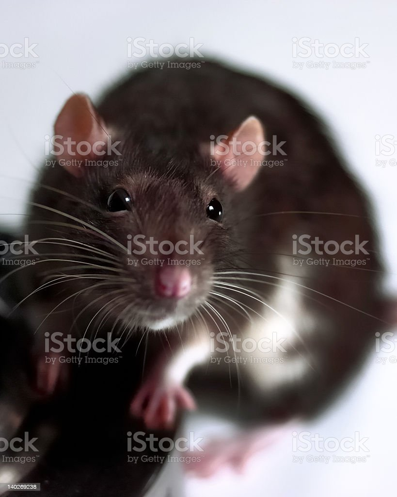 Surprised rat by lampstand stock photo