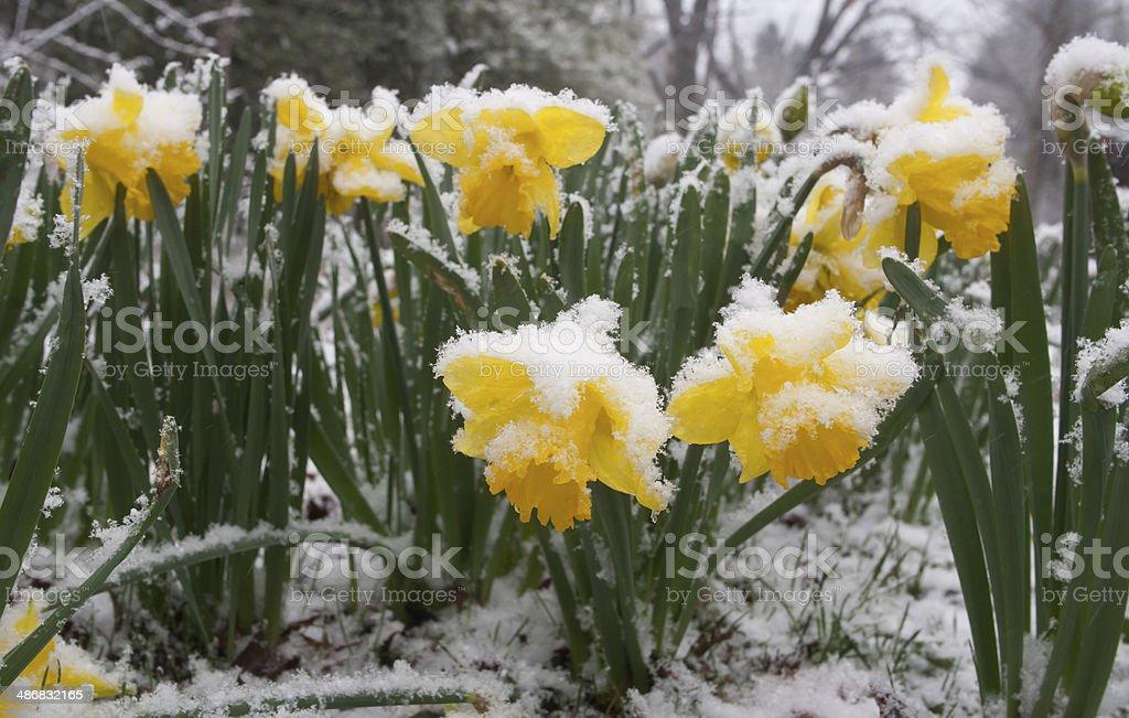 Surprised Spring Snowfall stock photo