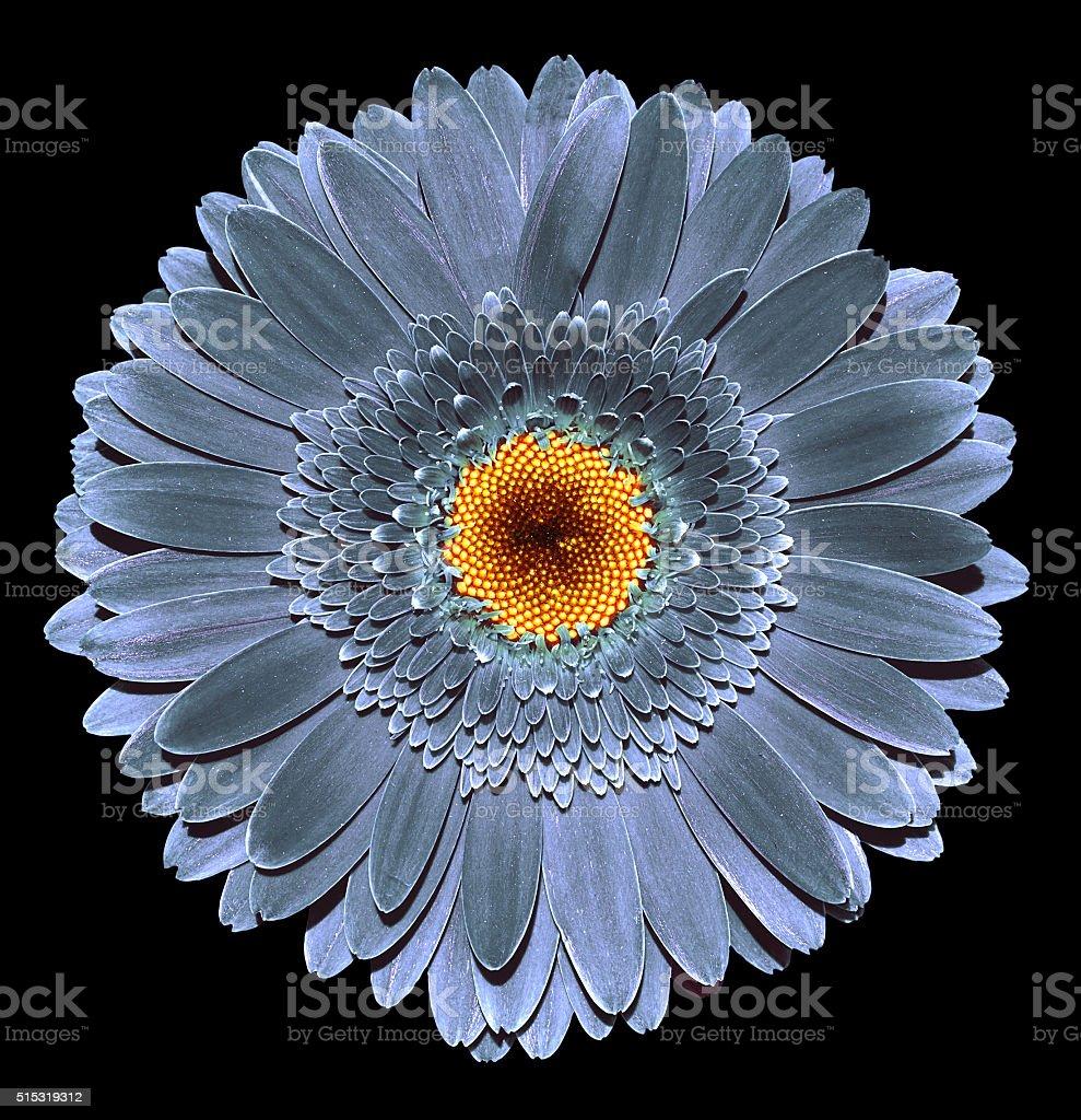 Surreal dark chrome grey gerbera flower macro isolated stock photo