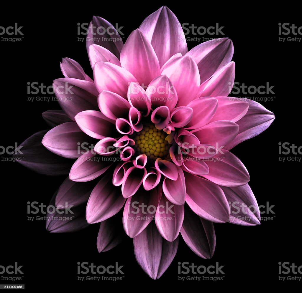 Surreal dark chrome violet flower dahlia macro isolated on black stock photo