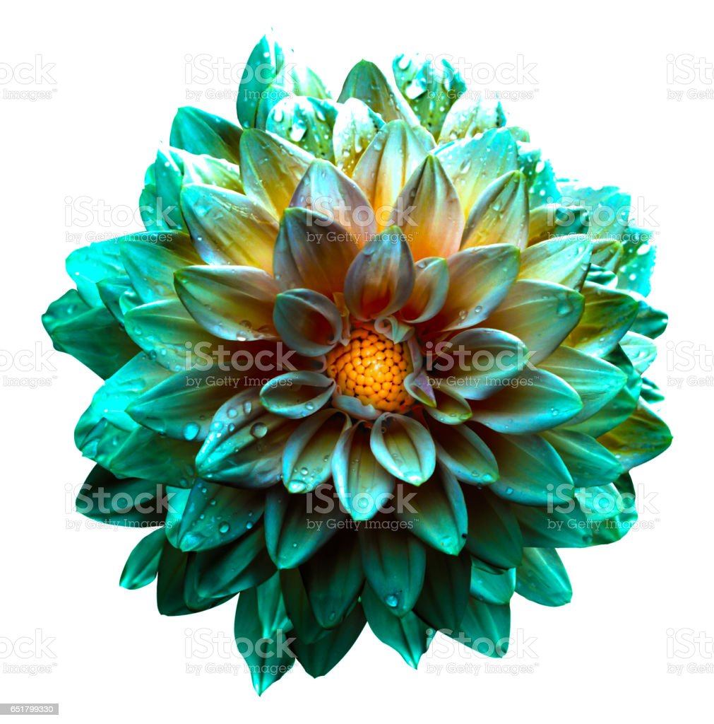 Surreal wet turquoise and yellow flower dahlia isolated on white stock photo