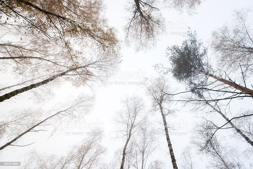 Surrounded by Birch Trees in Autumn - 36 Mpx royalty-free stock photo