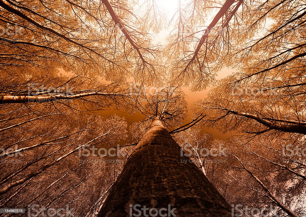 Surrounded by Tall Trees, low angle shot - Autumn season royalty-free stock photo