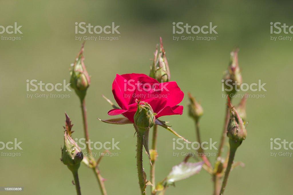 Surrounded rose stock photo