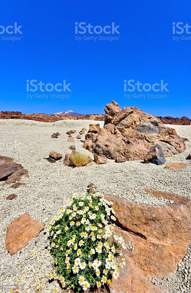 Survival in the volcanic desert of Tenerife royalty-free stock photo