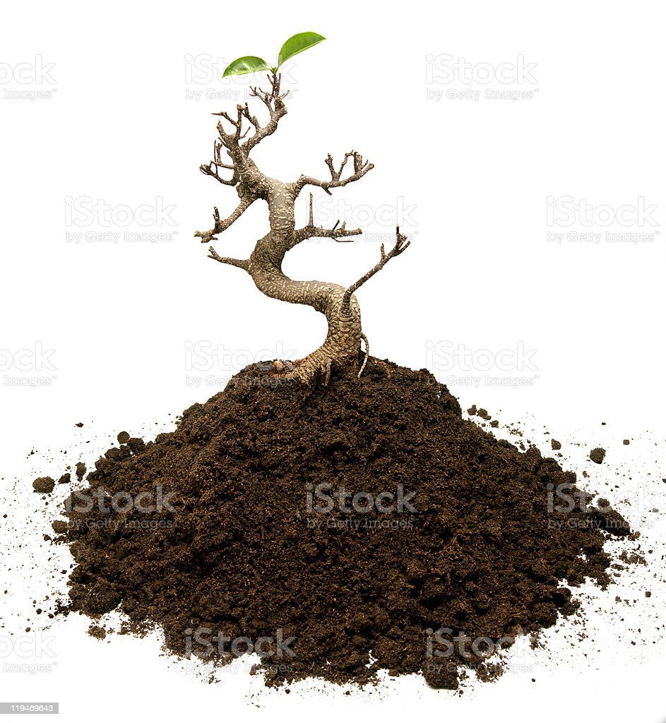 Surviving bonsai tree royalty-free stock photo
