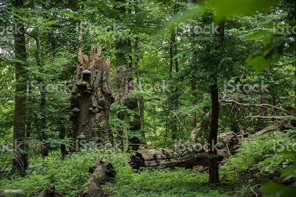 Suserup Skov natural forest in Denmark stock photo
