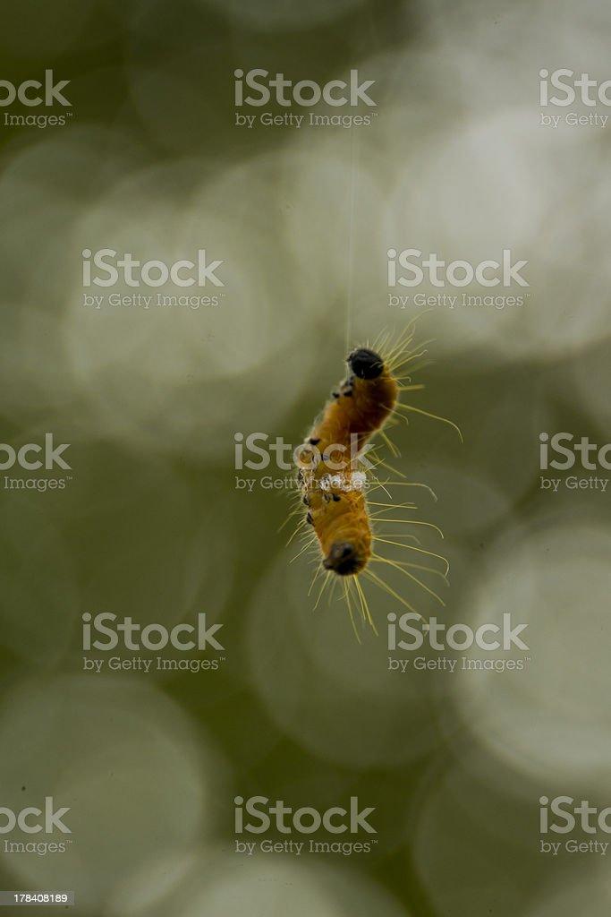 Suspended caterpillar stock photo