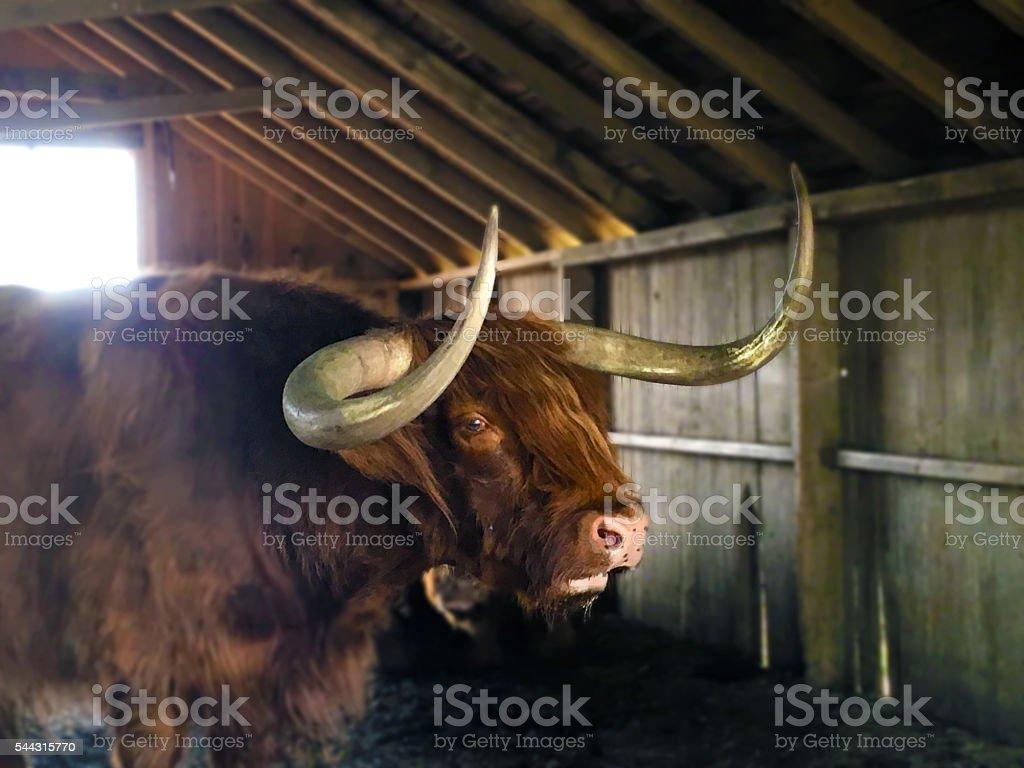 Suspicious Bull stock photo