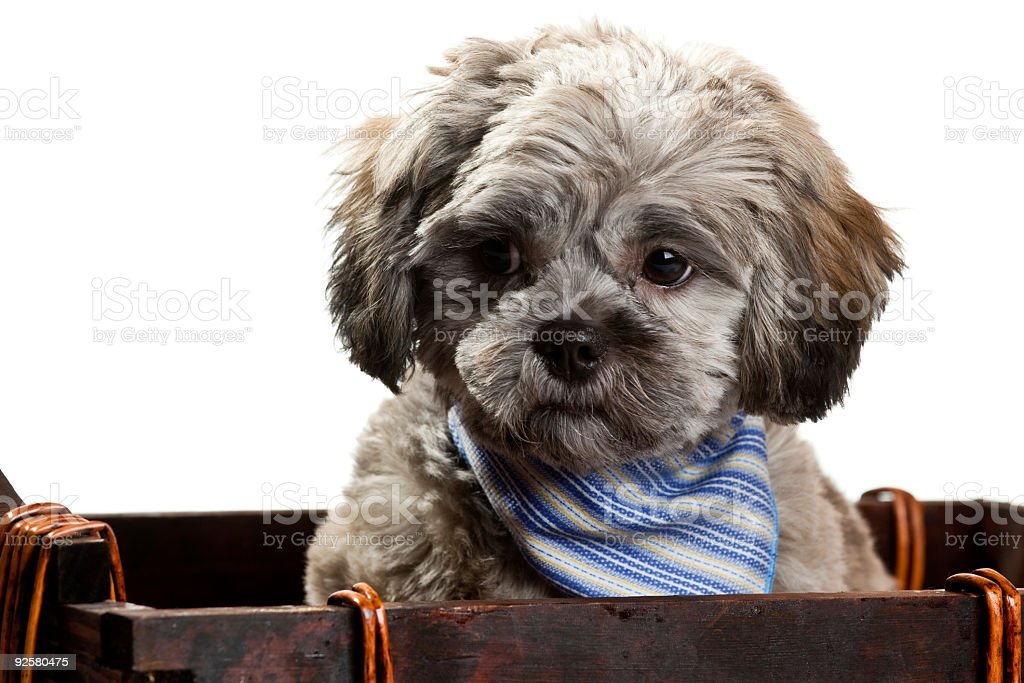 Suspicious Looking Puppy stock photo