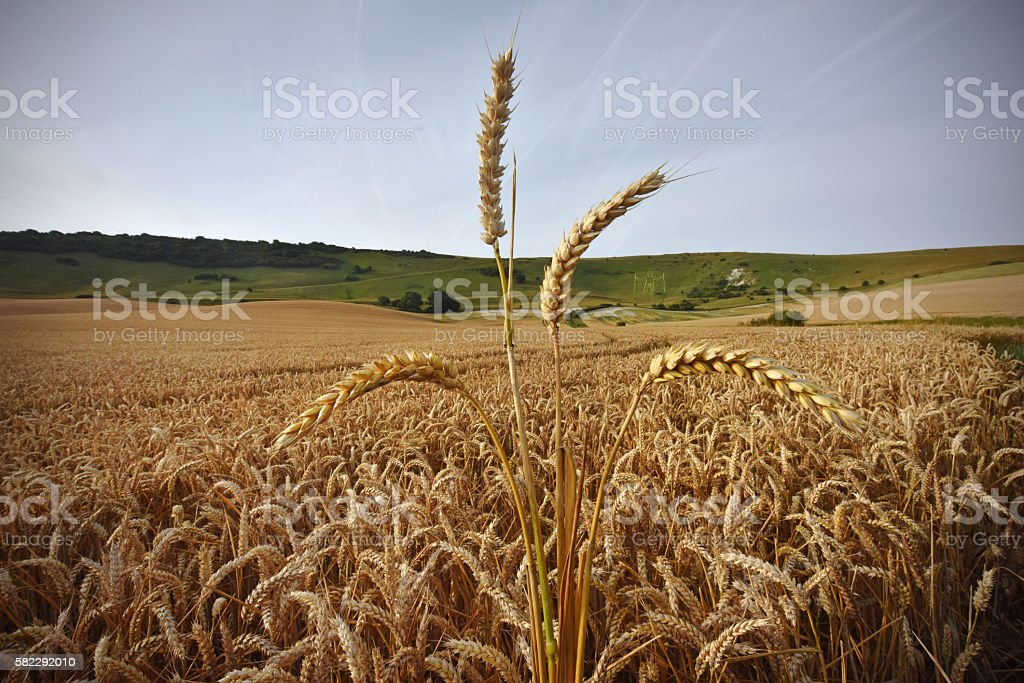 Sussex Wheat stock photo