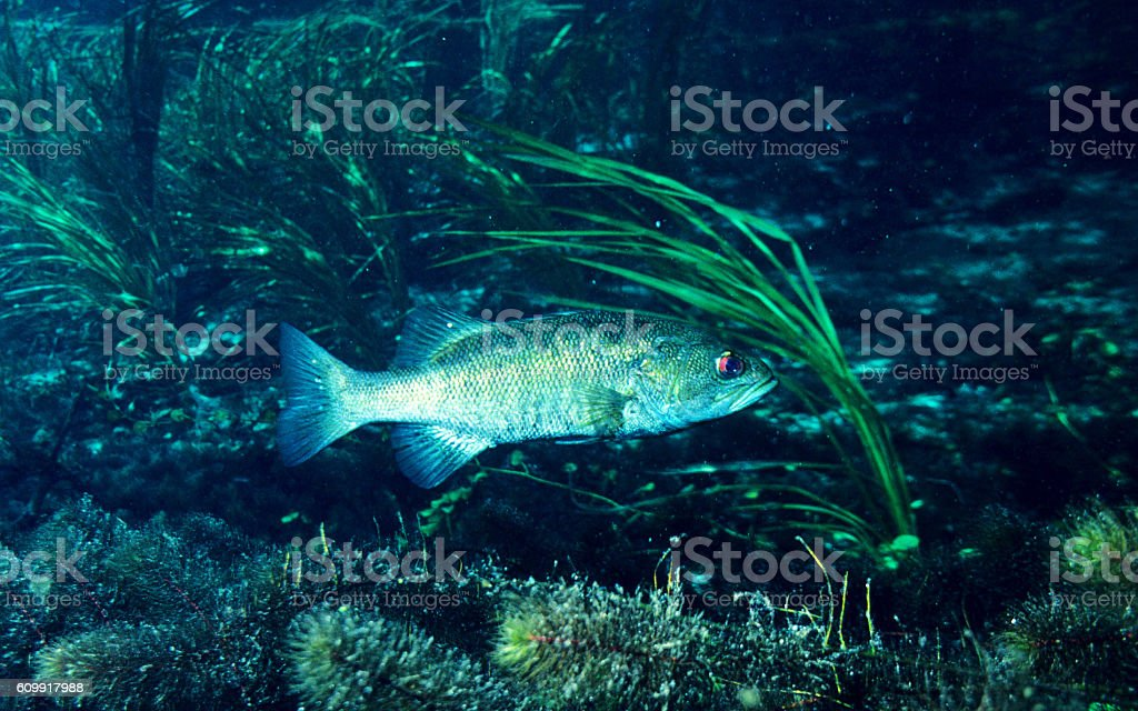 Suwannee Bass 14 stock photo