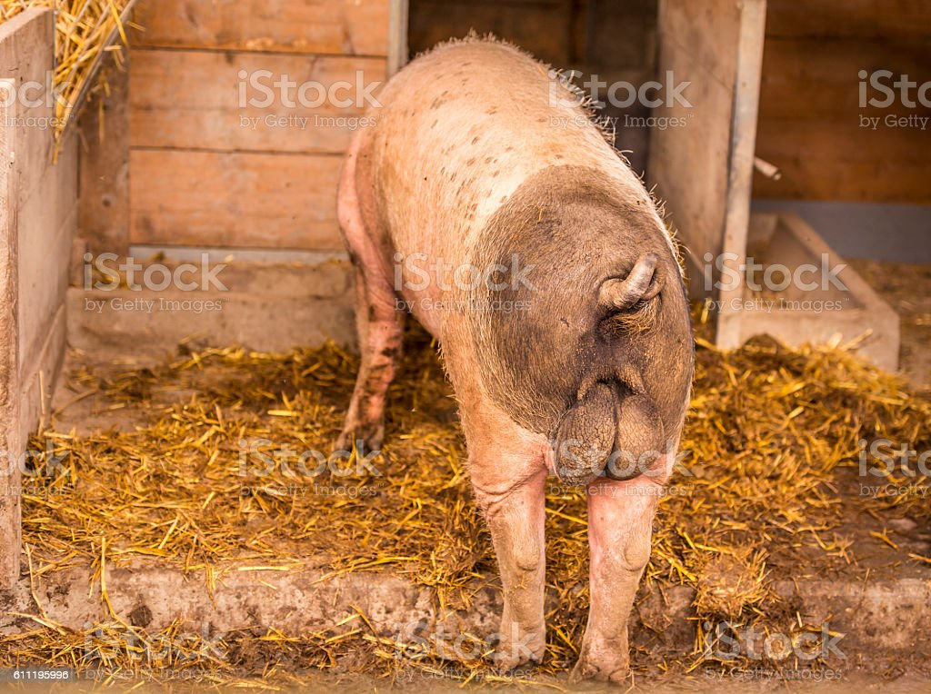 Swabian male pig rear view stock photo
