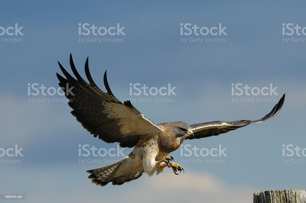 Swainson's Hawk In-Flight Landing stock photo