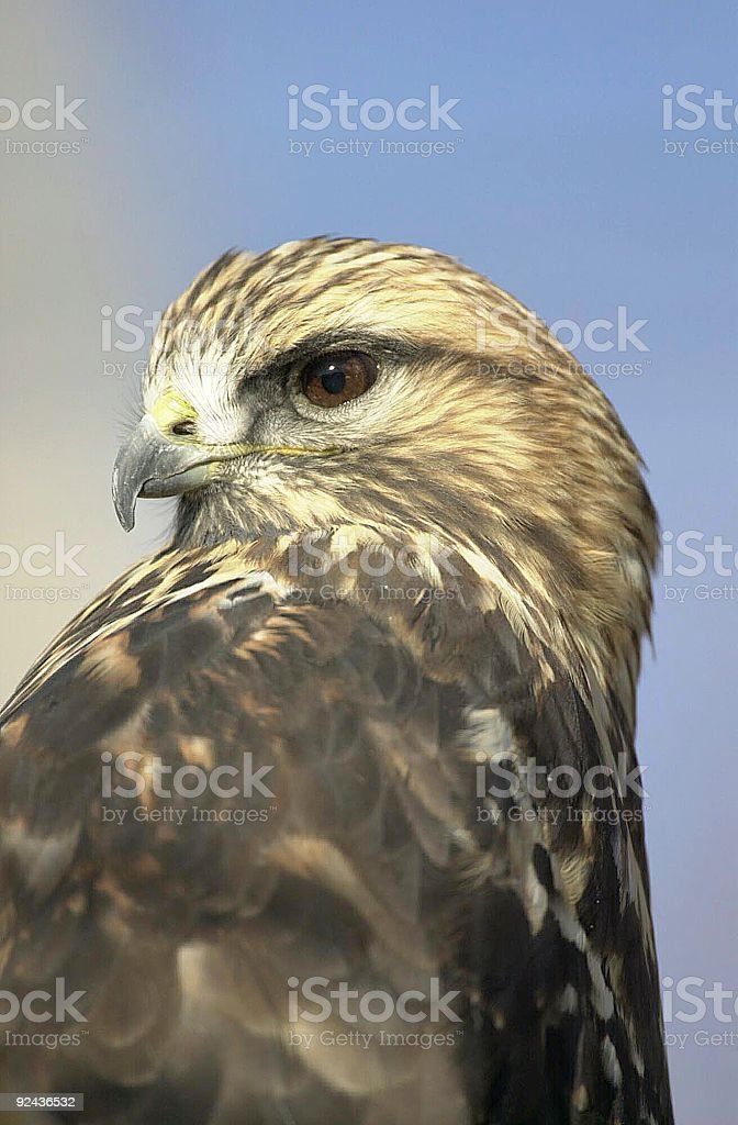 Swainson's Hawk royalty-free stock photo