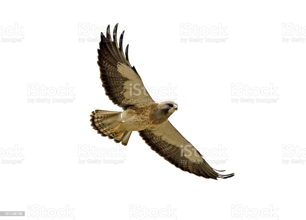 Swainson's Hawk With Clipping Path- Two stock photo