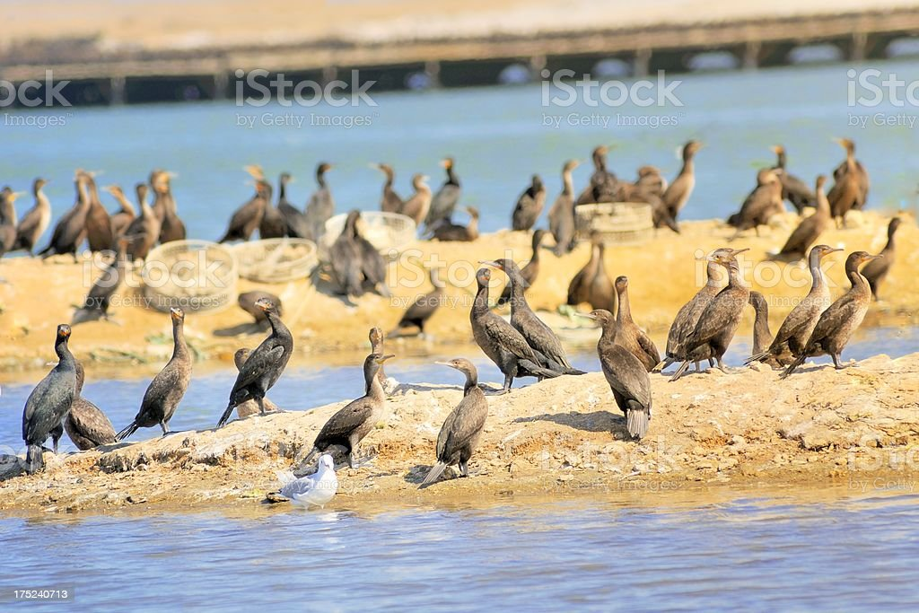 Swakopmund Guano Cormorants stock photo