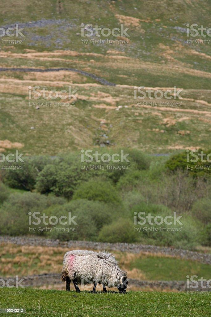 Swaledale Ewe stock photo