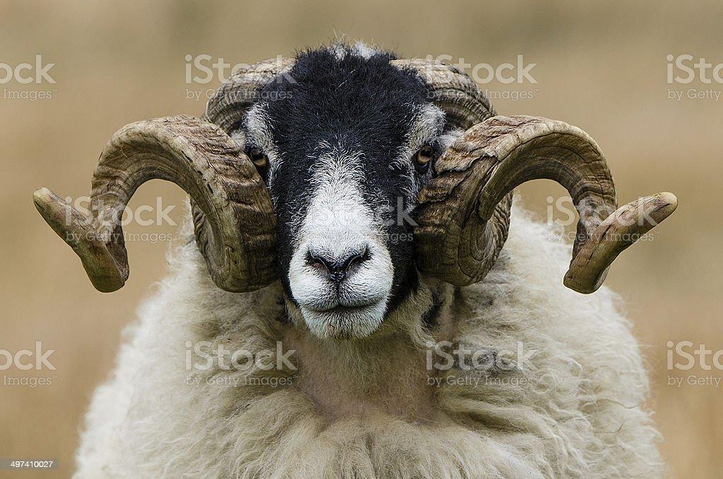 Swaledale Ram Horn Symmetry stock photo