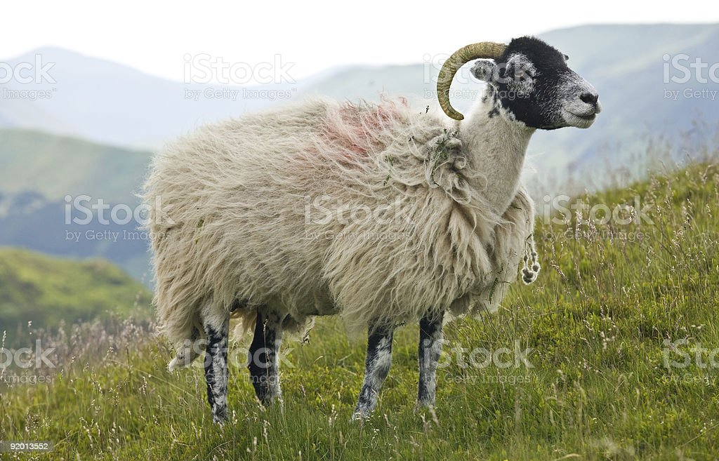 Swaledale sheep in the Lake District stock photo