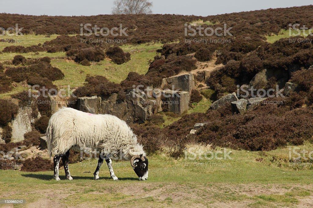 Swaledale Sheep on Moorland (XXXL) stock photo