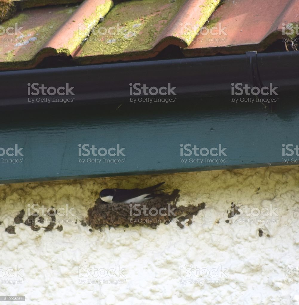 swallow bird nesting on cottage wall guttering stock photo