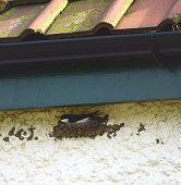 swallow bird nesting on cottage wall guttering