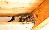 Swallow - Bird