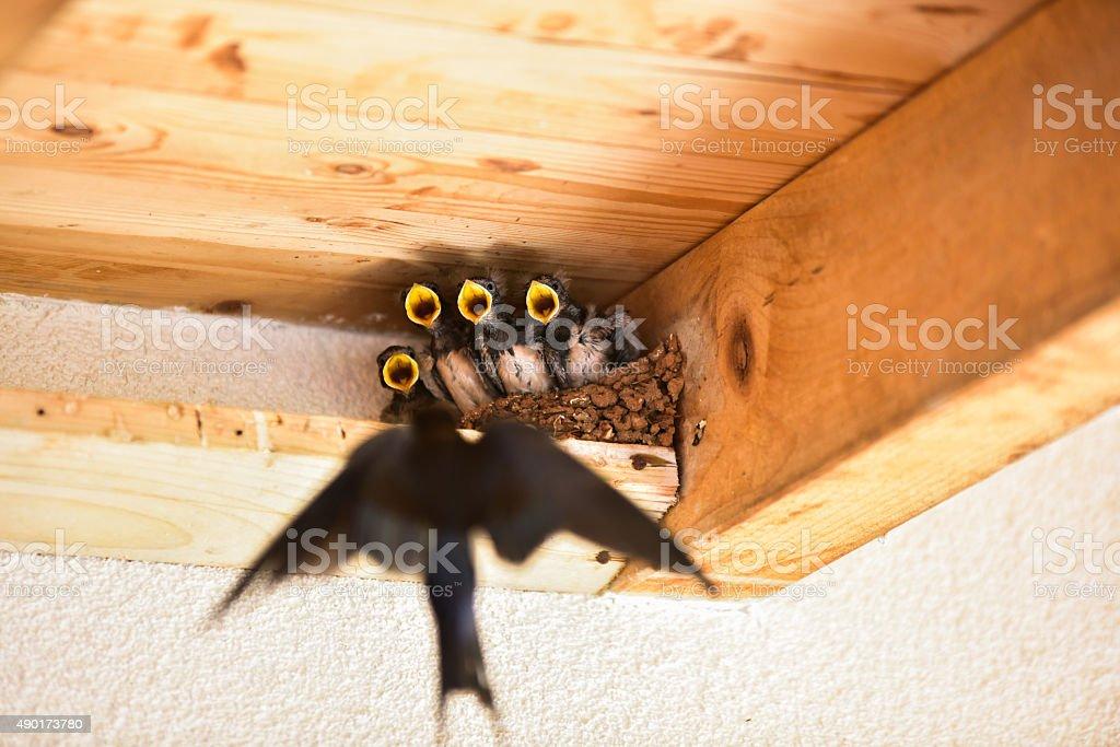 Swallow - Bird stock photo