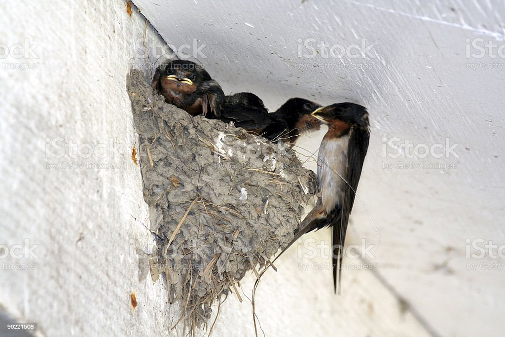 swallow feeding nestling royalty-free stock photo