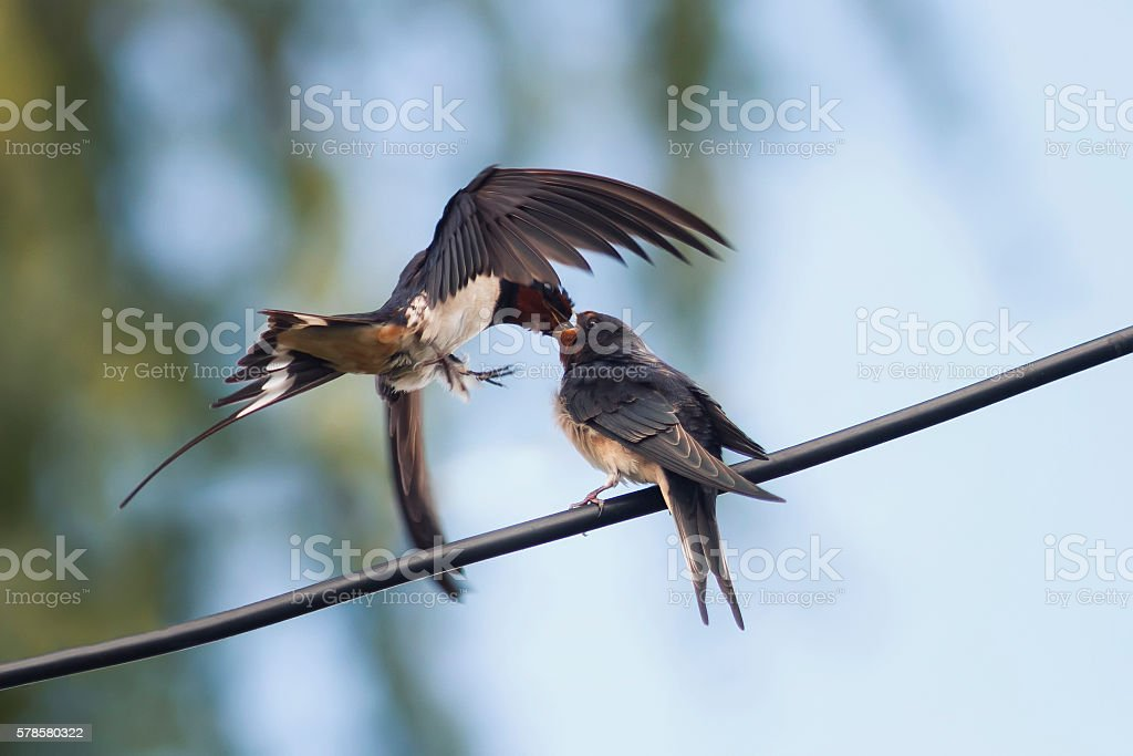 swallow feeds her hungry Chicks on the wires stock photo