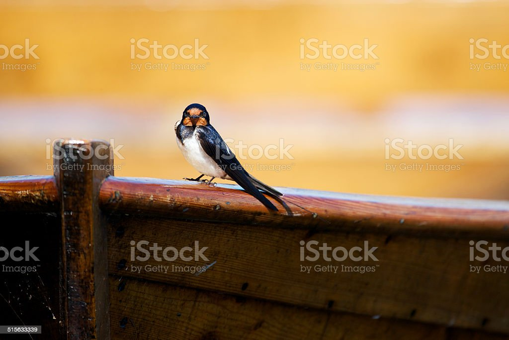 Swallow on wooden boat stock photo