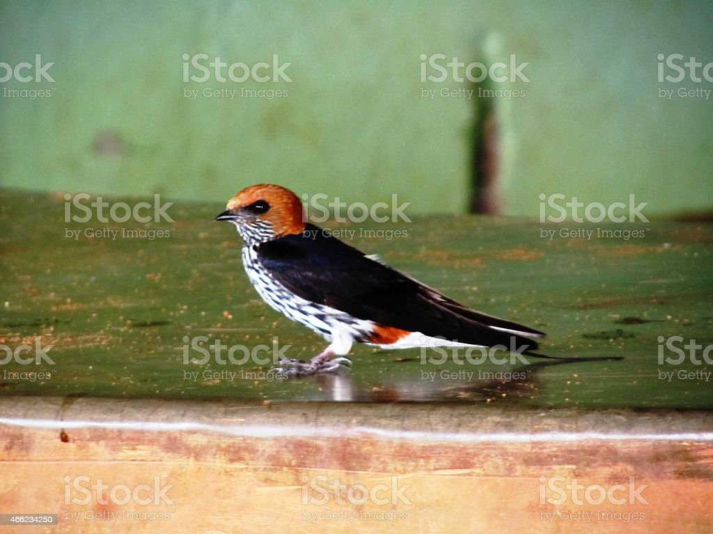 Swallow - Small stripes swallow building a nest in Kenya stock photo